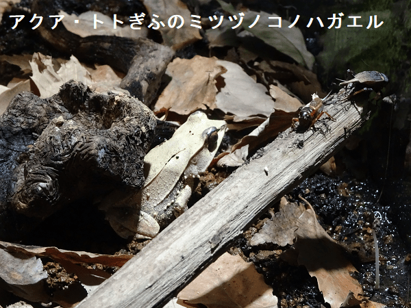 アクア・トトぎふのミツヅノコノハガエル