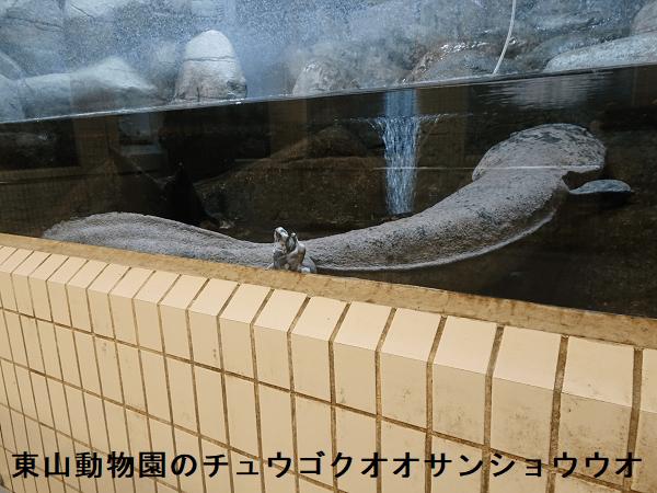 東山動物園のチュウゴクオオサンショウウオ