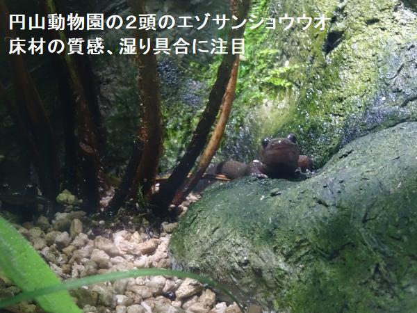 円山動物園の2頭のエゾサンショウウオ