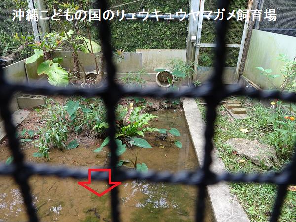 沖縄こどもの国のリュウキュウヤマガメ飼育場