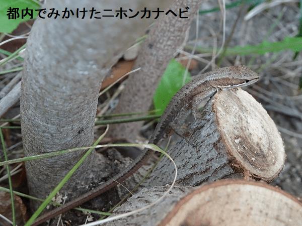 都内でみかけたニホンカナヘビ