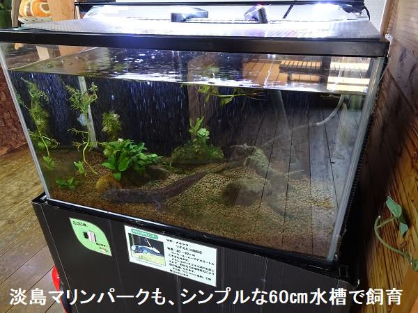 淡島マリンパークも、シンプルな60㎝水槽で飼育