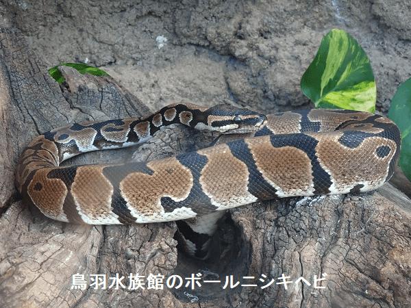 鳥羽水族館のボールニシキヘビ