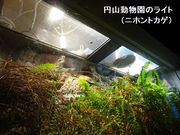 円山動物園のライト(ニホントカゲ)