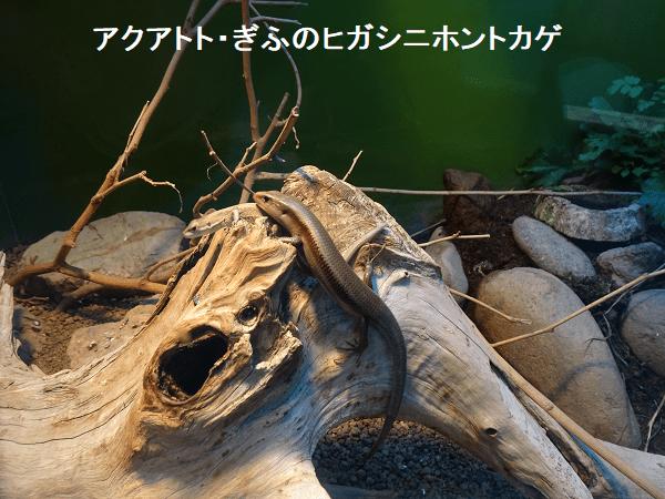 アクアトト・ぎふのヒガシニホントカゲ