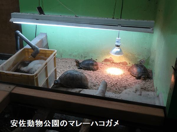 安佐動物公園のマレーハコガメ