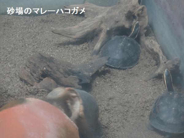 砂場のマレーハコガメ