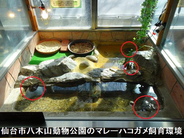 仙台市八木山動物公園のマレーハコガメ飼育環境