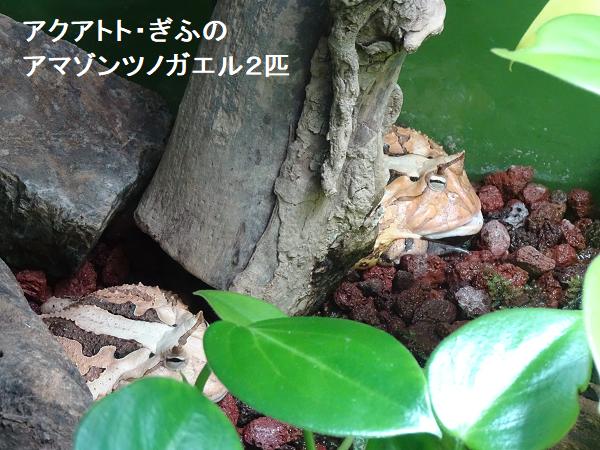 アクアトト・ぎふのアマゾンツノガエル2匹