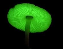 glow in the dark mushroom