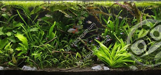 aquascape jungle avec CO2