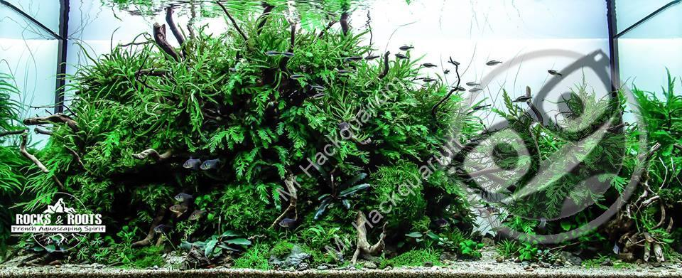 Rocks & Roots French Aquascaping Spirit (sans titre)