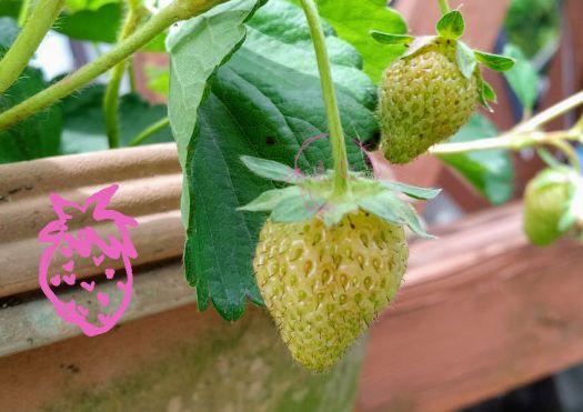 自家栽培いちご