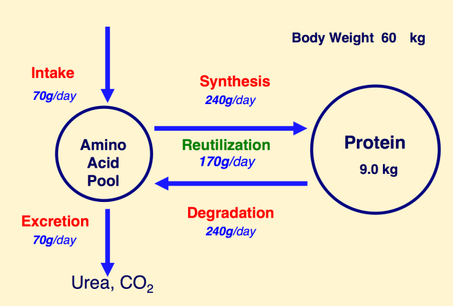 synthesis and degradation of protein