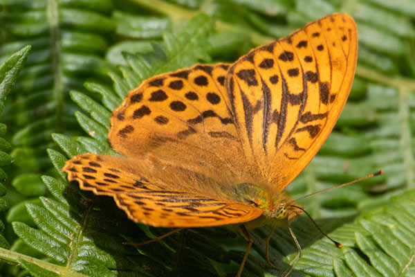 Silver washed fritillary male butterfly