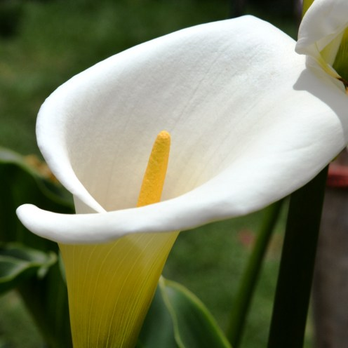 My favourite flower, the Calla Lily, practically grows like a weed in Peru