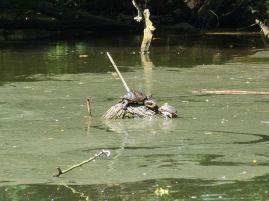 Die Schildkröten tummeln sich zwar nicht im Silbersee, aber in einem anderen Tümpel im Landschaftsgarten