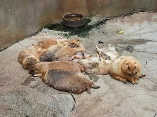 Prairie dog-Tupai tanah