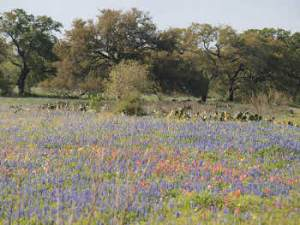 bluebonnet_field_sml