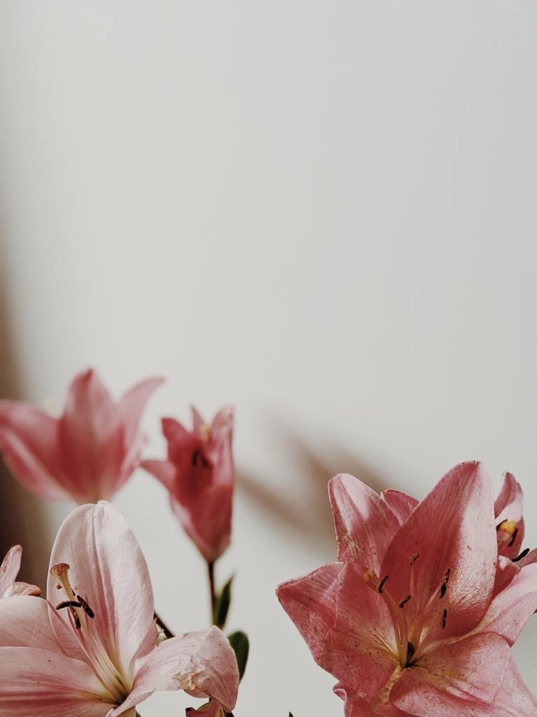 Lyse rose amaryllis