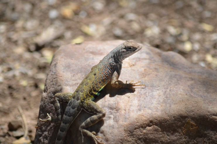 Haggisandhamburgers Greater Earless Lizard