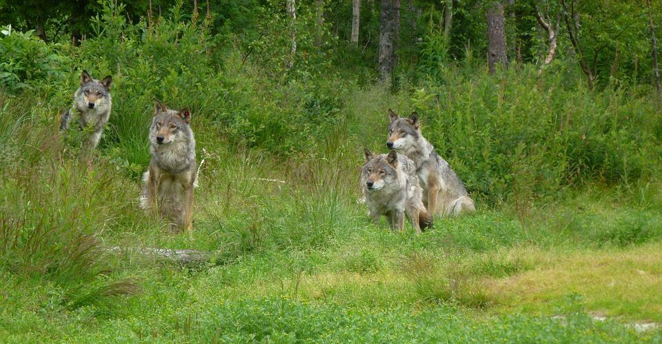 Wolfsfamilie