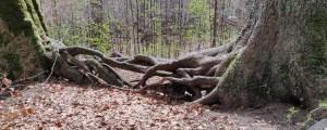 verknotete Wurzeln im Kubany Urwald