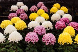 bunga Chrysanthemum di Ibaraki