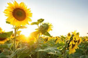 Sunflower di Niigata Jepang
