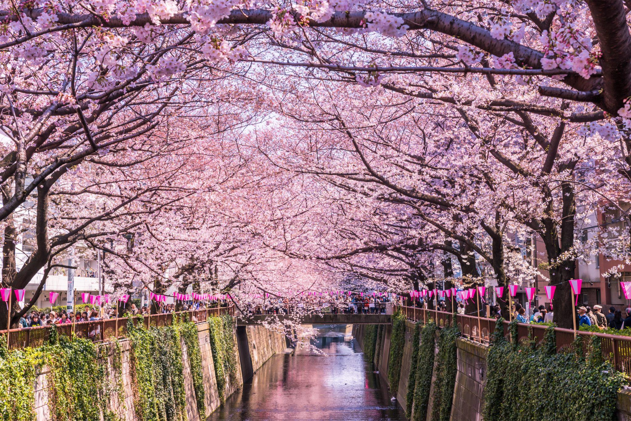 Bunga Sakura di Meguro River