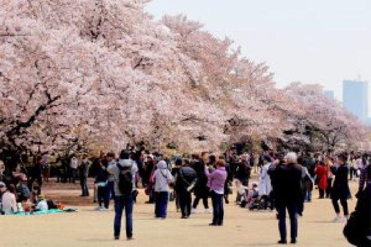 Bunga Sakura di Shinjuku Gyoen