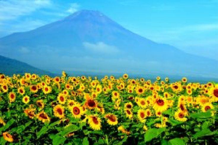 Taman Bunga Matahari di Jepang