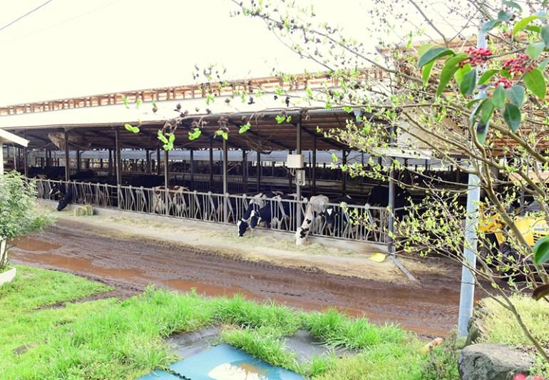風の牧場 牛舎の様子