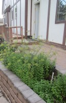 once we finish this project, my next project is taming the herb forest! check out that bolting parsley