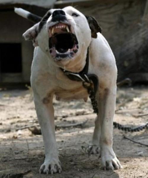 pitbull-thumb-336x403_545x654.shkl