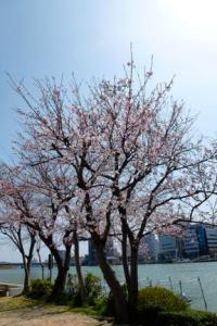 Cherry Trees at the Park