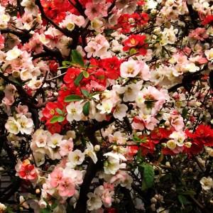 咲き分かれた桜