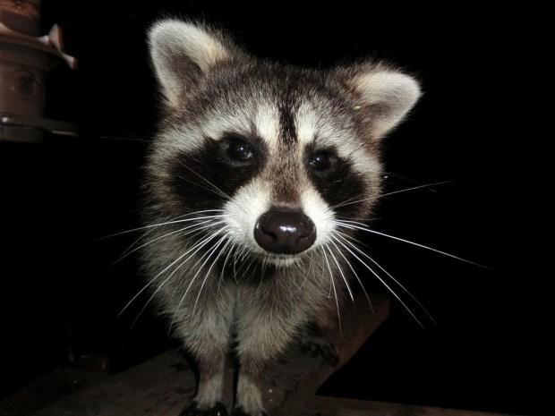 racoon nemesis