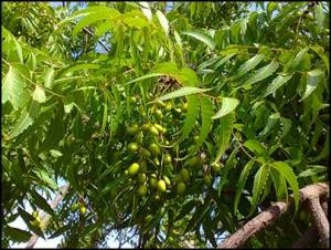 neem-tree-for-hair-loss