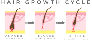 Hair growth cycle Hair Restoration Europe