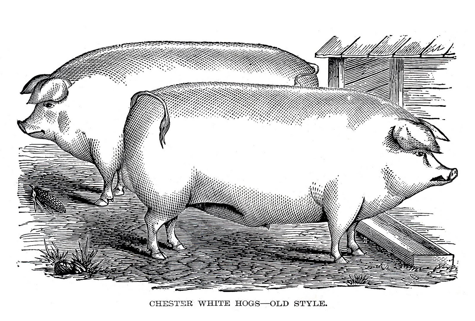 2 portly pigs