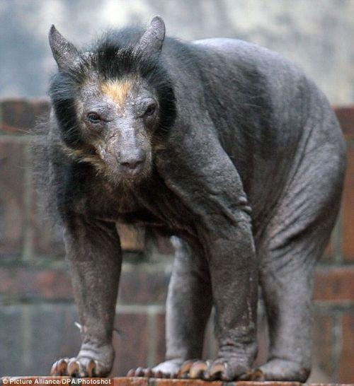 hairless bear