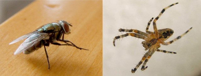 The common house fly tramples in dog poo before invading our homes spreading that poo on kitchen surfaces, in the sugar bowl and any food it can lay its beady eyes upon. The spider, however, can actually help rid your home of these disease bearing flies