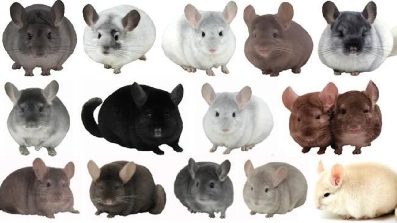 199 Cute & Funny Chinchilla Names For Girls & Boys! | HairyWhiskers