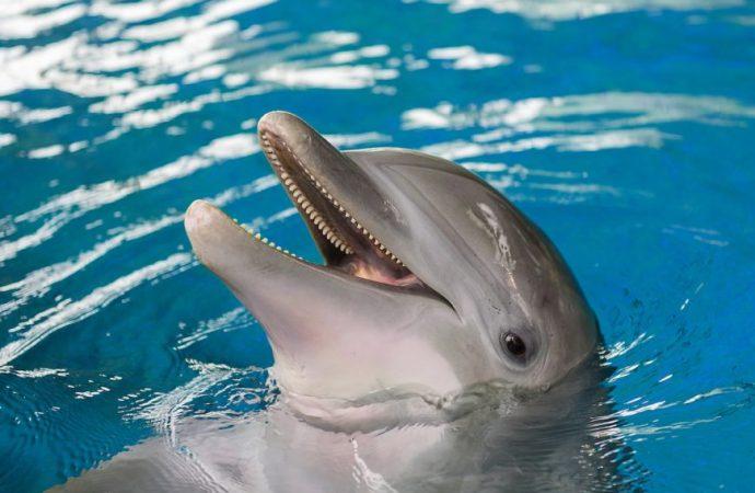 Une nouvelle espèce de dauphins découverte aux Côtes des Acardins