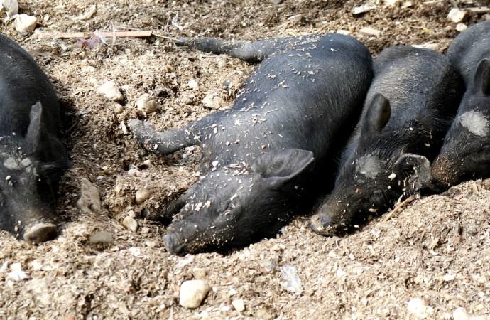 République Dominicaine-Peste porcine : Michel Chancy appelle à l'interdiction d'entrée des produits à base de porc en Haïti