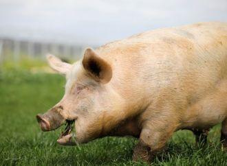La fièvre porcine présente en République Dominicaine, les États-Unis en alerte