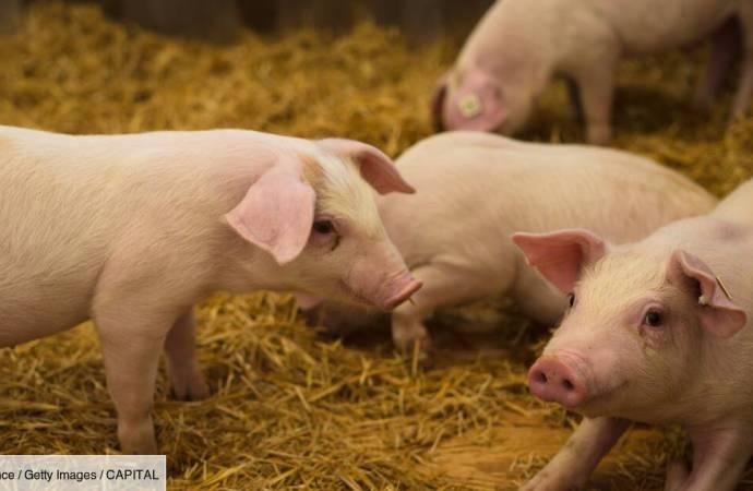 Peste porcine : l'importation de la viande de porc interdite en Haïti