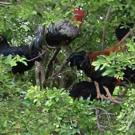 Haiti travel, haiti chickens
