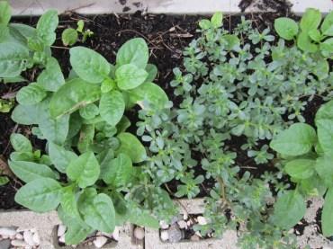 malabar spinach & coupier